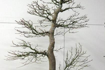 对一棵日本枫树盆景的施肥
