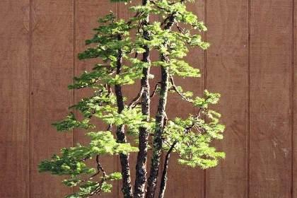 图解 老外给云杉盆景蟠扎的6个过程