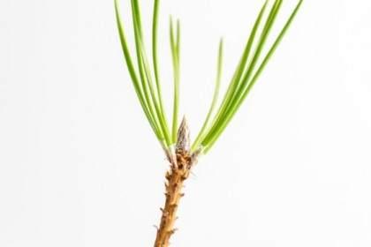图解 松树盆景上发芽的芽类型有哪些