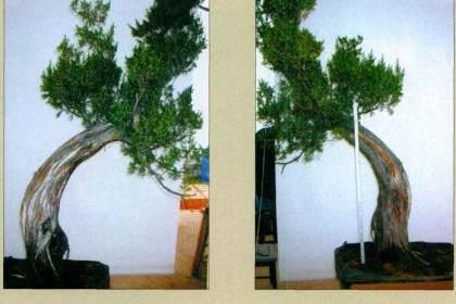 图解柏树盆景的制作构思