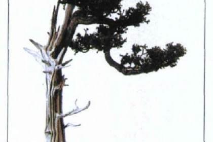 图解 如何修剪盆景的大飘枝