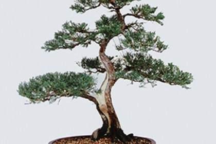 图解榆树盆景的修剪与嫁接