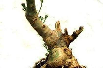 图解 橄榄盆景的发芽修剪方法 图片