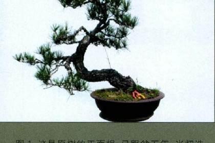 下面谈谈自已这些年在松类盆景制作中的一些体会