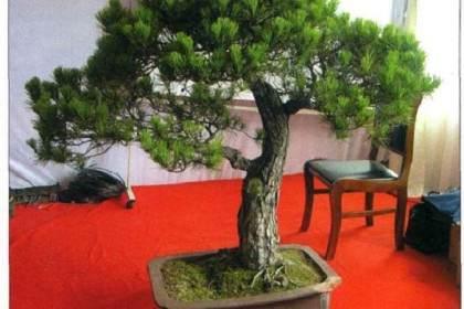 图解 樊顺利演示赤松盆景的制作过程