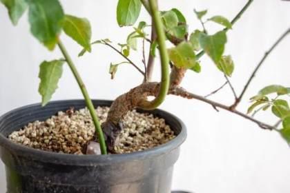 图解 如何修剪黑松盆景的牺牲枝