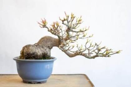 跟进 - 对小品日本枫树盆景的进一步修剪