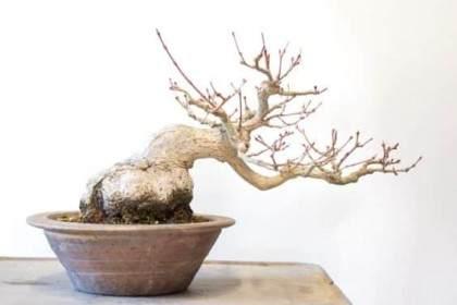 图解 修剪日本小品枫树盆景的过程