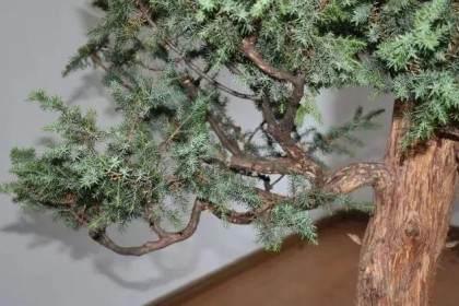 图解 树木盆景第一托枝怎么布局的方法