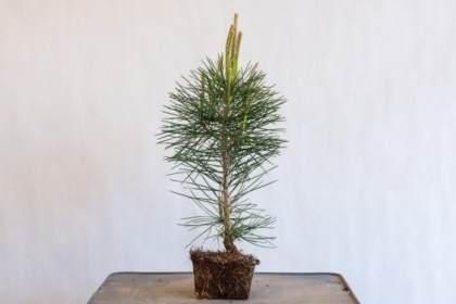图解 种植小品松树盆景的替代方法