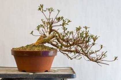 图解 如何修剪小月杜鹃花盆景的花蕾