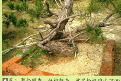 图解 将黑松树桩制作成盆景的22个过程