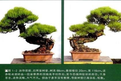 图解 一株两面可观的赤松盆景怎么制作过程