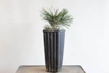 图解 种植暴露的松树盆景根 - 后续技术