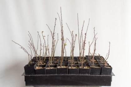 图解 如何盘扎和移植海棠盆景的幼苗