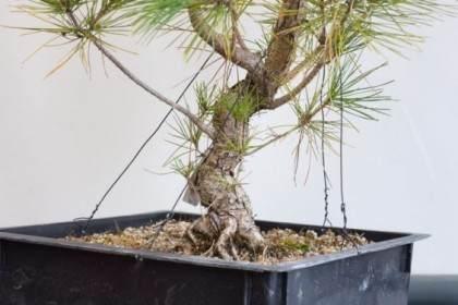 图解 重新修剪8岁黑松盆景的发芽
