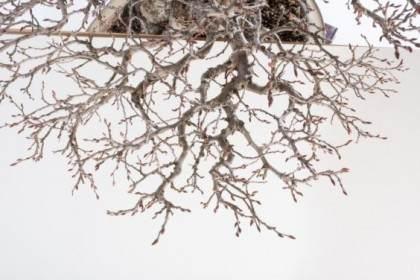 如何修剪韩国鹅耳枥盆景的细枝?