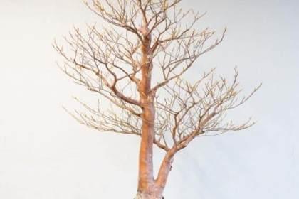 秋季盆景养护任务 - 修剪旧叶子