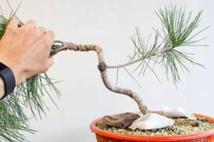 如何修复盆景树干上的疤痕 图片