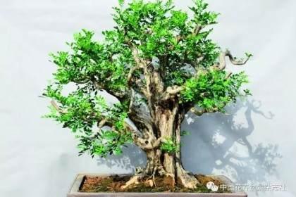 盆景制作中的修剪促芽发芽方法