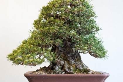 图解 黑松盆景的枝条在夏季会生长多少