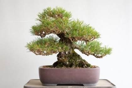 图解 对松树盆景针头怎么修剪的方法