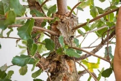 图解 如何制作一种年轻的软木橡树盆景
