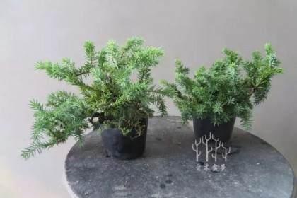 图解 微型刺柏盆景怎么修剪整型的过程