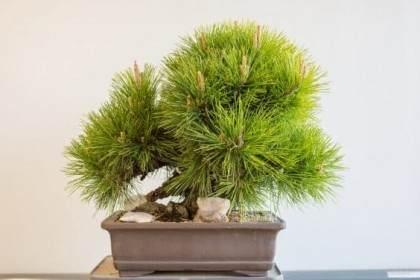 如何给松树盆景发芽嫁接树叶 图片