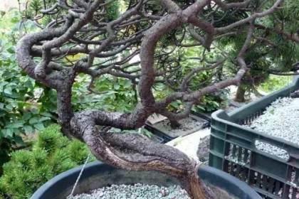 下山松盆景移栽后的培养和整型