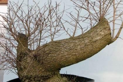 图解 大型榆树盆景的制作设计过程