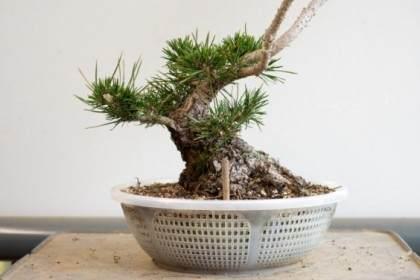 图解 如何修剪松树盆景的牺牲枝