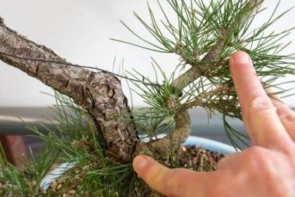 图解 如何修剪日本黑松的牺牲枝