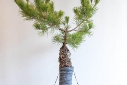 图解 如何在松树露根盆景上培养新的树枝