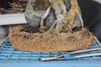 如何修剪三叉戟枫树盆景的根?
