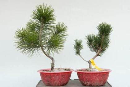 如何分辨黑松盆景的好芽 坏芽?