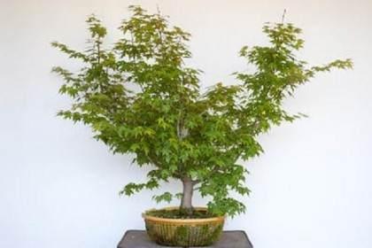 图解 日本枫树盆景发芽修剪的过程