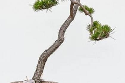 图解 老外如何修剪黑松盆景的针叶
