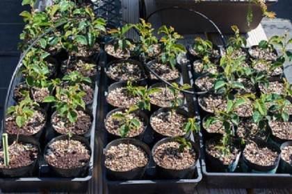图解 尝试不同盆景肥料试验的效果