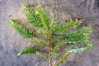 如何修剪已经发芽的海岸红杉盆景 图片