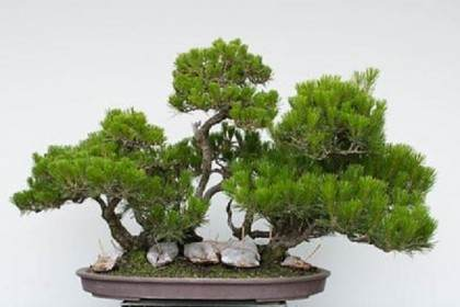 图解 如何修剪松树盆景的枝叶使其有平衡感