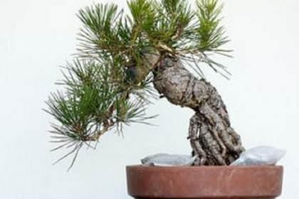 松树盆景在制作初期的修剪