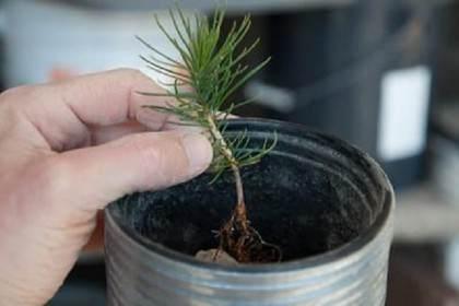图解 如何制作露根松树盆景的3个步骤