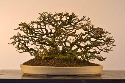 分享下我自制的长寿梅盆景照片