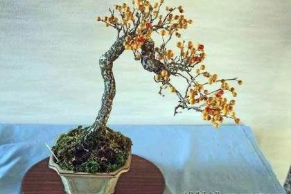 非常美的好盆景素材 - 南蛇藤
