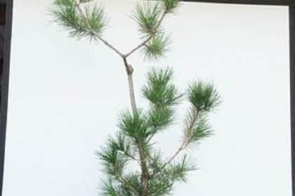 图解 怎么修剪一棵10年的松树盆景
