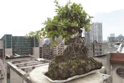 如何在阳台、窗台、楼顶建种植盆景?
