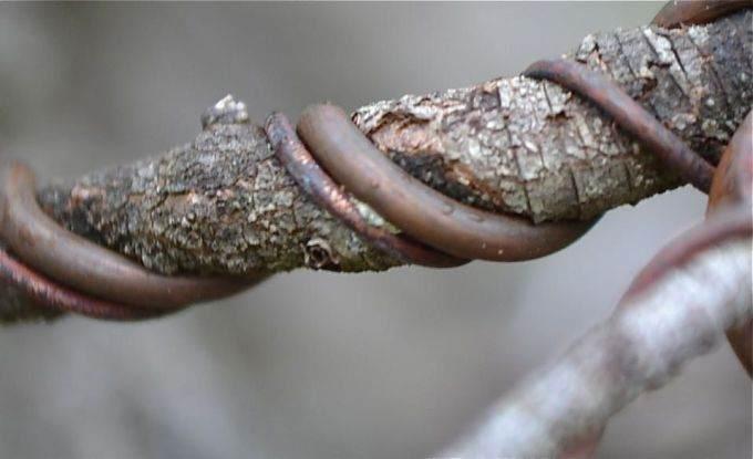 铝丝问题 - 何时拆除盆景上的铝丝最好?