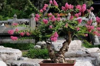紫薇花盆景的浇水与施肥