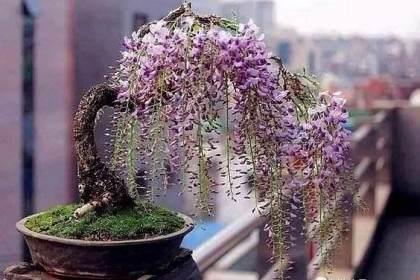 好问题 似乎虽然很多人都希望有一个紫藤盆景